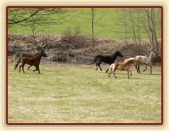 Stádo klisen poprvé letos na trávě, museli se také pořádně proběhnout:-)