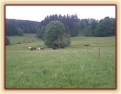Stádo hřebců po vypuštění na novou pastvinu