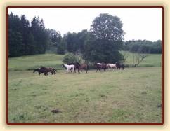 Stádo hřebců dovádí při příchodu nového člena stáda