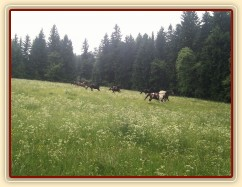 Stádo klisen dovádí při vypuštění na novou pastvinu