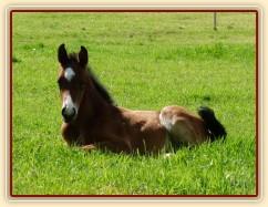 Baloo, hřebeček narozený 17.5.2012 klisně Báře po Cascavello