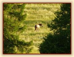 Galen na pastvině, červnový večer