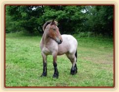 28.8.2012 - Koupili jsme chladnokrevnou kobylku Fionu plemene Ardenský kůň.