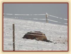 Siesta - nejlépe se spí na sněhu:-) Dvouletá Ardenka Fiona