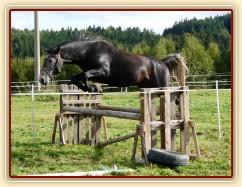 """Lipický hřebec Rybíz skáče řadu ve volnosti - skákat nemusí jen """"skoková"""" plemena:-)"""
