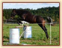 """Appaloosa hřebec Monty skáče skokovou řadu ve volnosti - skákat nemusí jen """"skoková"""" plemena:-)"""