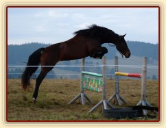 Tříletá klisna Highland Z, Irský sportovní kůň, skákání ve volnosti