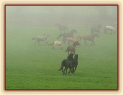 Stádo klisen dovádí po vypuštění na pastvinu