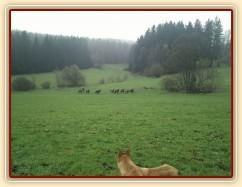 Hřebci dovádí po vypuštění na pastvinu...