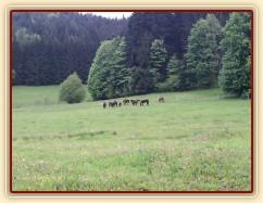 Stádo hřebců na nové pastvině