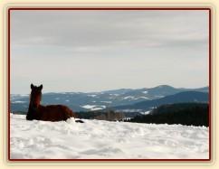 Ascara, půlroční hříbě, na sněhu se dobře spinká:-)