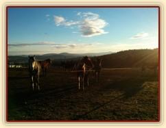 Koně čekají na krmení