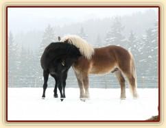 Pěkná zima, hřebci Carthago a Cherokee