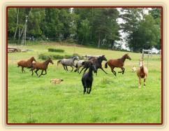 Stádo klisen při přehánění na novou pastvu