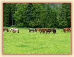 Stádo klisen na pastvě