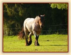 Tříletá Fiona, Ardenský kůň