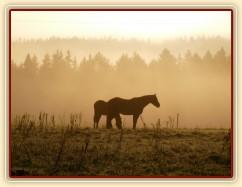 Stádo hřebců, mlhavé podzimní ráno