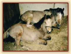 Greisy s Galenem odpočívají ve stáji v Karlštejně, Galen byl asi půl roku starý