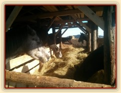 Hřebčí stádo a jejich nový seník