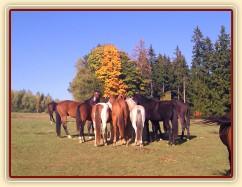 11.10.2015 - Stádo hřebců u balíku sena, podzim už je v plném proudu :-)