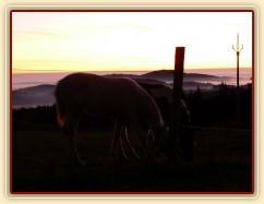 Mlhavá podzimní rána, dvě půlroční klisničky