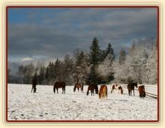 Stádo hřebců čeká na převedení do zimního výběhu
