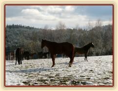 Stádo hřebců při přehánění do zimního výběhu