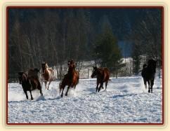 22.1.2016 - Stádo klisen řádí ve sněhu
