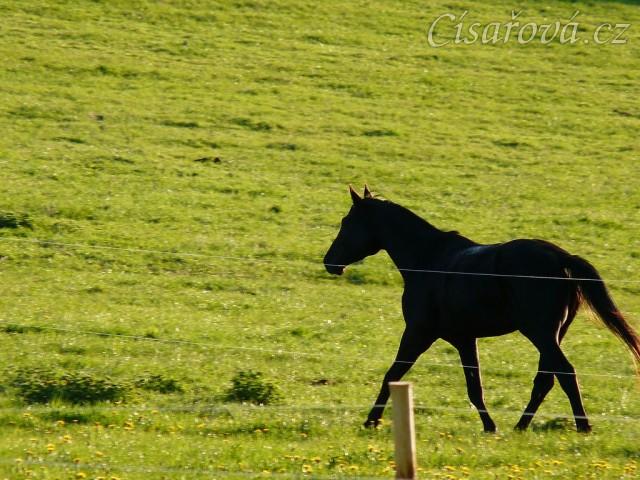 """Čtyřletý Carthago na """"obchůzce"""" pastviny"""