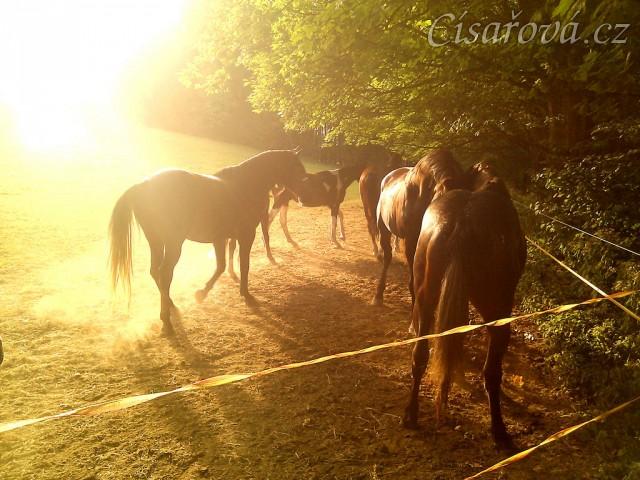 4.9.2011 - Stádo hřebců na pastvině v podvečerním slunci