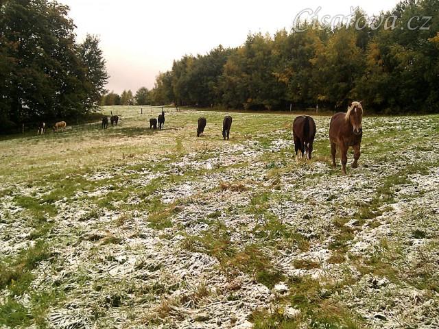 8.10.2011 - První sníh letošní zimy, stádo hřebců