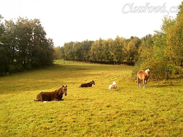 13.10.2011 - Hřebci odpočívají na pastvině