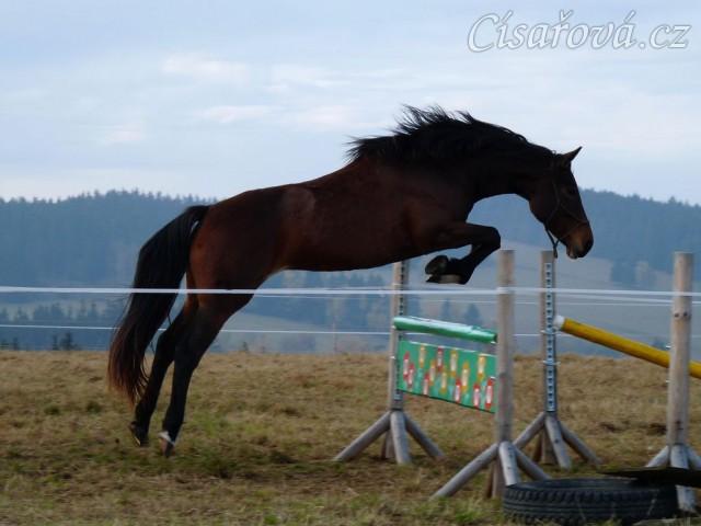 Tříletá klisna Highland, Irský sportovní kůň, vždy skáče s rezervou a s perfektním stylem