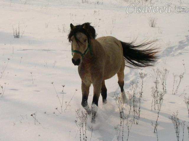 Zimní vyjížďka, běhání na volno(asi nejoblíbenější činnost našich poníků)