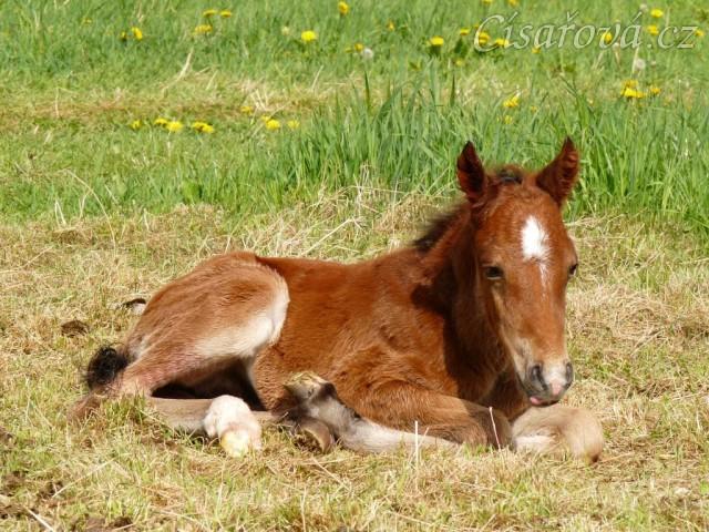 14.5.2012 - Greisy se narodil hřebeček:-) Porod zvládla sama, hřebeček do 10ti minut vstal a pak 2 hodiny běhal kolem, než se nám ho porařilo nasměrovat k mlíku:-)