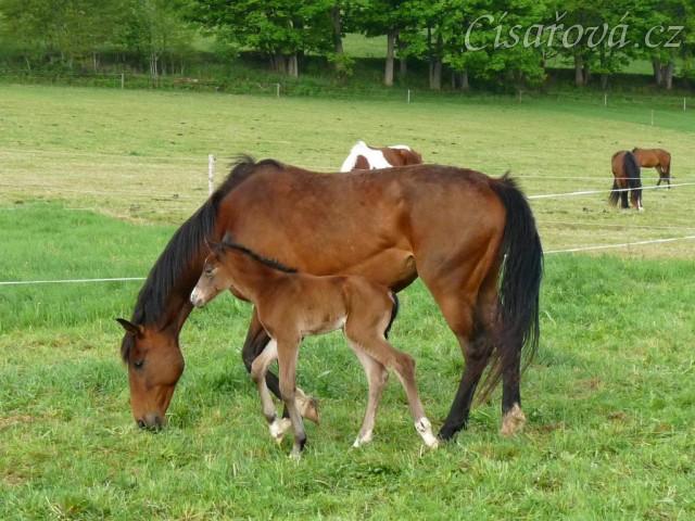 17.5.2012 - Ve 2:15 v noci se narodil druhý hřebeček. Bára zvládla porod sama a hřebeček brzy vstal a mlíko našel hned:-)