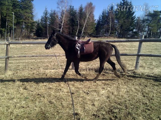 Irský sporotvní kůň Kroona na lonži