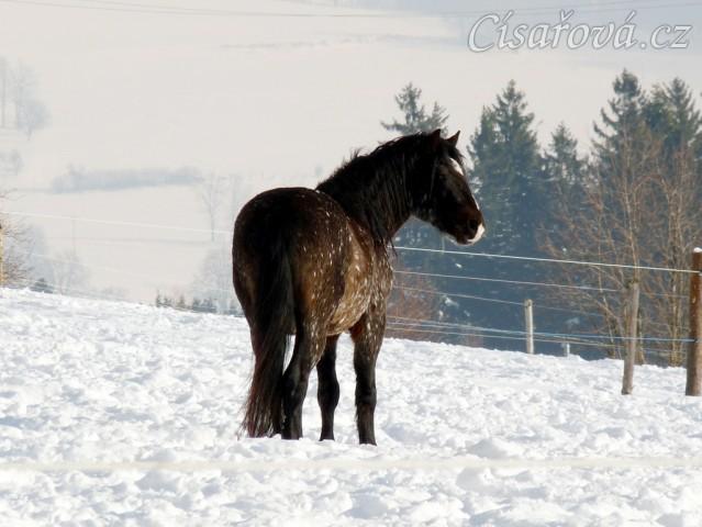 Pěkná zima, hřebec Gimli