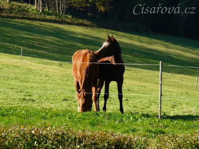 Mladé klisny (dvouletá a roční) na pastvině