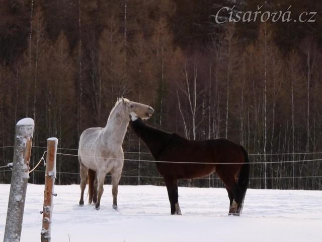 I kobyly si dokážou hrát jak hřebci/valaši :-)