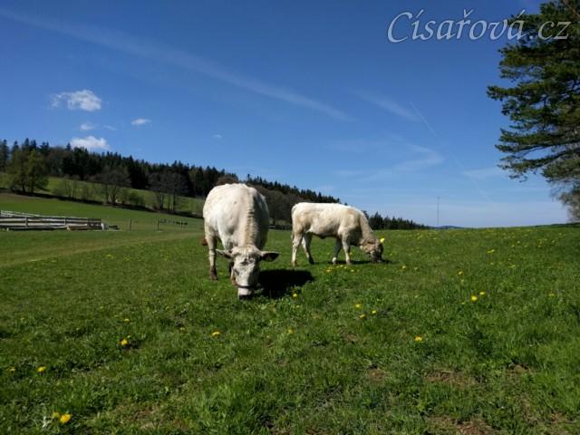 Naše dvě krávy se také pasou