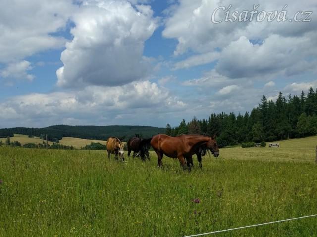 Stádo starých koní